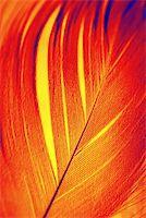 frbird - Feather of Phoenix, mythical, sacred firebird - symbolical in Egiptian mythology and Christian religion. Stock Photo - Royalty-Freenull, Code: 400-05021552