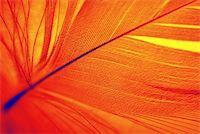 frbird - Feather of Phoenix, mythical, sacred firebird - symbolical in Egiptian mythology and Christian religion. Stock Photo - Royalty-Freenull, Code: 400-05021553