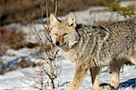 Coyote in snow. Stock Photo - Royalty-Free, Artist: photofellow                   , Code: 400-05025170