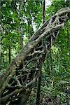Strangler vines on tree growing in Daintree Rainforest, Australia. Stock Photo - Royalty-Free, Artist: iofoto                        , Code: 400-05044648