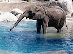 A large elephant standing in water Stock Photo - Royalty-Free, Artist: Builttospill                  , Code: 400-05047853