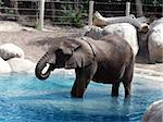 A large elephant standing in water Stock Photo - Royalty-Free, Artist: Builttospill                  , Code: 400-05047856