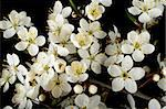 Many white cherry flowers over black. Background. Stock Photo - Royalty-Free, Artist: alionakuz                     , Code: 400-05060088