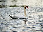 Single swan swimming at the ripple dark water