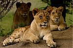 Group of lion cubs Stock Photo - Royalty-Free, Artist: ALERT                         , Code: 400-05068022
