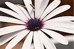 Close-up view of a white daisy with a blue center Stock Photo - Royalty-Free, Artist: dragon_fang                   , Code: 400-05070880