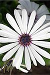 A white daisy with a blue center shot at a top view Stock Photo - Royalty-Free, Artist: dragon_fang                   , Code: 400-05070881