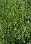 Texture of fresh grass. June. Summer time. Stock Photo - Royalty-Free, Artist: alionakuz                     , Code: 400-05075824