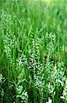 Texture of fresh grass. June. Summer time. Stock Photo - Royalty-Free, Artist: alionakuz                     , Code: 400-05075826