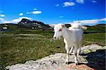 Goat in Jotunheimen national park, Norway Stock Photo - Royalty-Free, Artist: Maridav                       , Code: 400-05083782