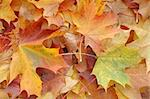 Autumn leaves Stock Photo - Royalty-Free, Artist: phodopus                      , Code: 400-05098565
