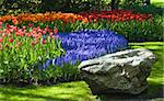 Spring time in park with blooming tulips and common grape hyacinth