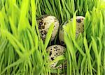 Quail  eggs  betwen green grass Stock Photo - Royalty-Free, Artist: vnlit                         , Code: 400-05113433