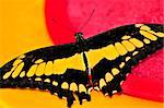 Giant swallowtail butterfly with open wings and yellow markings Stock Photo - Royalty-Free, Artist: Elenathewise                  , Code: 400-05113922