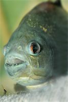 piranha fish - piranha.predatory fish found in South America that attacks other fish animals and occasionally humans Stock Photo - Royalty-Freenull, Code: 400-05123541