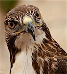 Portrait of a beautiful raptor or bird of prey Stock Photo - Royalty-Free, Artist: PhotoWorks                    , Code: 400-05126894