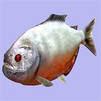 piranha fish - Piranha fish in water With Clipping Path Stock Photo - Royalty-Freenull, Code: 400-05129960