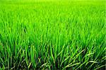 It is a green new rice land background. Stock Photo - Royalty-Free, Artist: elwynn                        , Code: 400-05131307