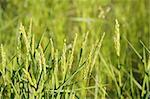 Rice cereal green fields in Spain on sunny day Stock Photo - Royalty-Free, Artist: lunamarina                    , Code: 400-05148602