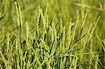 Rice cereal green fields in Spain on sunny day Stock Photo - Royalty-Free, Artist: lunamarina                    , Code: 400-05148603