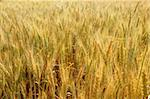Beautiful golden wheat cereal yellow field Stock Photo - Royalty-Free, Artist: lunamarina                    , Code: 400-05148610