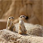 Two suricata standing alert. Suricate couple over a brown rock Stock Photo - Royalty-Free, Artist: lunamarina                    , Code: 400-05157166