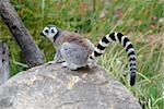 Picture of a beautiful Ring-tailed Lemur from Madagascar Stock Photo - Royalty-Free, Artist: nialat                        , Code: 400-05159296