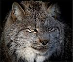 Close-up portrait of a Canada Lynx also known as a Bobcat Stock Photo - Royalty-Free, Artist: nialat                        , Code: 400-05159996