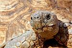Close up of a tortoise's head and eyes Stock Photo - Royalty-Free, Artist: ChrisAlleaume                 , Code: 400-05173976
