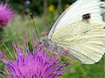 white butterfly on a purle thorn in garden Stock Photo - Royalty-Free, Artist: Xetra                         , Code: 400-05174889