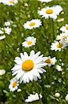 field of daisies, sunny summer day in the country Stock Photo - Royalty-Free, Artist: NitroCephal                   , Code: 400-05178228