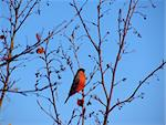 Bullfinch on a tree Stock Photo - Royalty-Free, Artist: dikti                         , Code: 400-05181187
