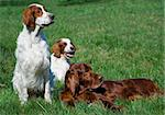 Two red and white irish setters and a red Irish setter in the meadow Stock Photo - Royalty-Free, Artist: ximinez                       , Code: 400-05186124