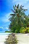 Beutiful tropical beach in the Maldives with a coconut palms hanging over the sea and stone formation in the front