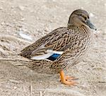 A female mallard duck is standing on the ground Stock Photo - Royalty-Free, Artist: alexandr6868                  , Code: 400-05188343