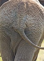 Portrait of an African elephant rear Stock Photo - Royalty-Freenull, Code: 400-05193377