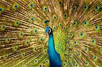 people mating - Portrait of Peacock with Feathers Out. Stock Photo - Royalty-Freenull, Code: 400-05195730