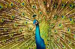 Portrait of Peacock with Feathers Out. Stock Photo - Royalty-Free, Artist: szefei                        , Code: 400-05195730