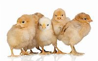 Group of yellow chickens isolated on white background Stock Photo - Royalty-Freenull, Code: 400-05198371