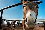 donkey on a farm on the blue sky Stock Photo - Royalty-Free, Artist: nito                          , Code: 400-05203039
