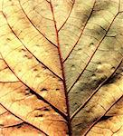 Close up of dry Leave Stock Photo - Royalty-Free, Artist: janaka                        , Code: 400-05212592