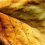 Close up of dry Leave Stock Photo - Royalty-Free, Artist: janaka                        , Code: 400-05212593