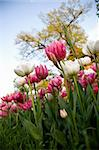 delicate tulips in the spring
