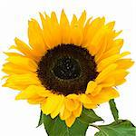 Sunflower isolated on white background Stock Photo - Royalty-Free, Artist: sailorr                       , Code: 400-05221367