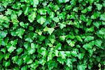 Fresh green ivy leaves background Stock Photo - Royalty-Free, Artist: ELyrae                        , Code: 400-05226582