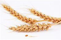 The ears of wheat, wheat (Kolosok wheat and corn) Stock Photo - Royalty-Freenull, Code: 400-05228318