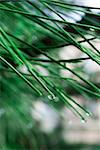 closeup of pine needles with raindrops Stock Photo - Royalty-Free, Artist: miss_j                        , Code: 400-05243151