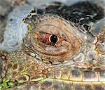 reptile animal lizard eye close up
