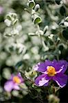 Detail of Cistus creticus. Rock rose. Stock Photo - Royalty-Free, Artist: csp                           , Code: 400-05261226