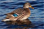 Shot of the wild duck - mallard Stock Photo - Royalty-Free, Artist: lamich                        , Code: 400-05268266